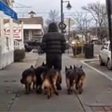 Βγάζει βόλτα 5 γερμανικά ποιμενικά χωρίς αλυσίδα και δείτε τι γίνεται……