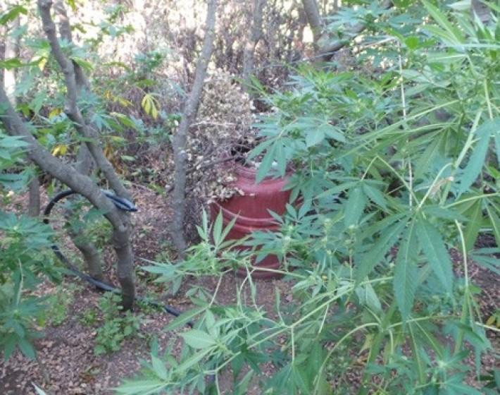 40χρονος καλλιεργούσε δενδρύλλια κάνναβης  στο χωράφι του στον Προφήτη Ηλία