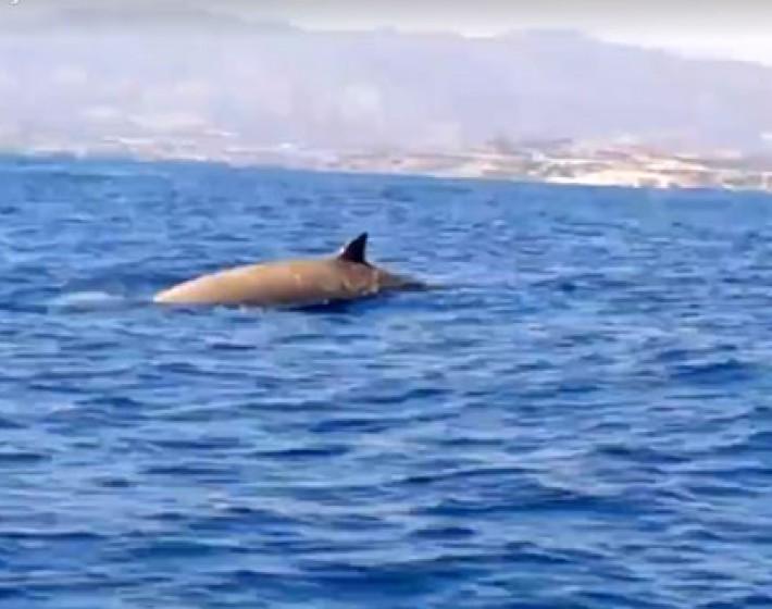 Κρήτη: Φάλαινα φυσητήρας στη Χρυσή