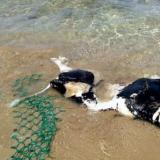 Χανιά:  Η θάλασσα ξέβρασε κουφάρι αγελάδας