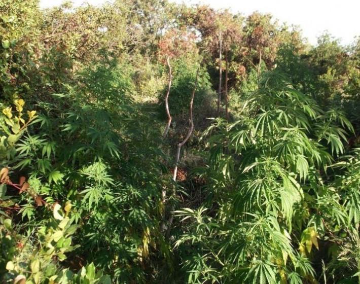 Ρέθυμνο: Εντοπίστηκε φυτεία με 603 δενδρύλλια  κάνναβης – Συνελήφθη 37χρονος