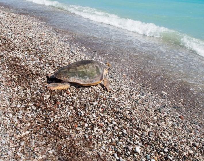 Παρουσία τουριστών στις Γούβες επέλεξε να γεννήσει μία χελώνα caretta caretta
