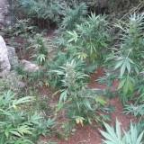 Εντοπίστηκε φυτεία κάνναβης στο Μυλοπόταμο